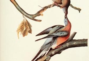 passenger_pigeon_by_audubon